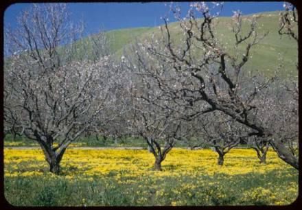 cherry trees near Niles Canyon