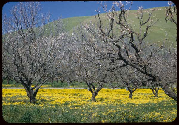 cherry trees near Niles Canyon