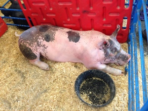 fine pink pig