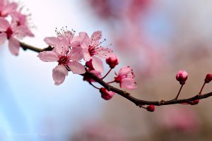 cherry_blossom_3_by_raylau-d4zo05p
